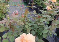 Những lưu ý khi trồng hoa hồng trong nhà kính